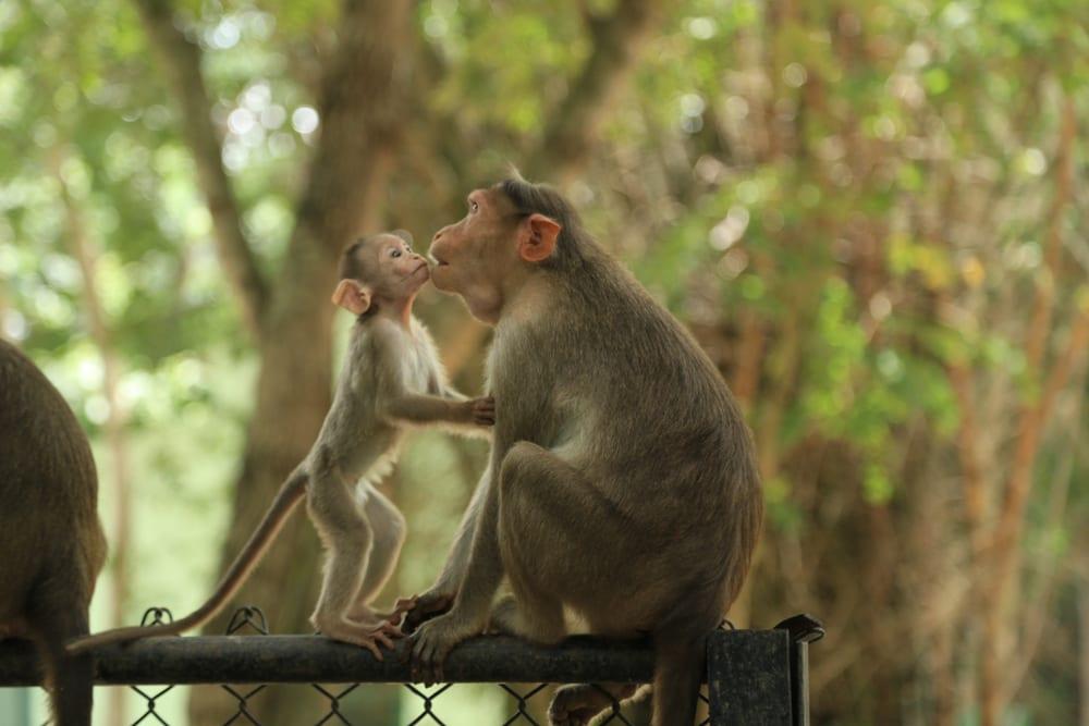 little monkey love